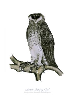 Lesser Sooty Owl - signed print
